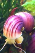 Tropical Snails