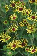 Rudbeckia Plants