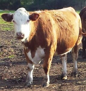 Hereford and Red Angus Cross