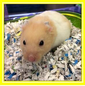 """Adult Male Small & Furry - Hamster: """"Rolo"""""""