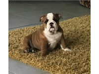British Bulldog Puppy Female