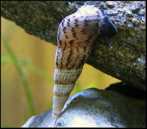 10+ Malaysian Trumpet Snails Cleaner Feeder algae eaters  BUY2GET1FREE!