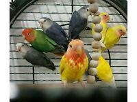 HIGH & STRONG QUALITY Blue & Grey Lovebirds [£30 EACH] For Sale + Cages From £20