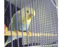 Lace wing budgie