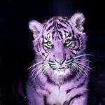 purpletiger1