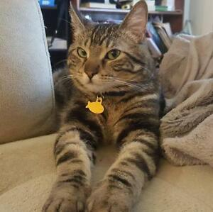 "Adult Male Cat - Tabby - Brown: ""Castiel"""