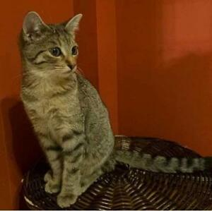 "Baby Female Cat - Tabby (Brown): ""PEBBLES"""