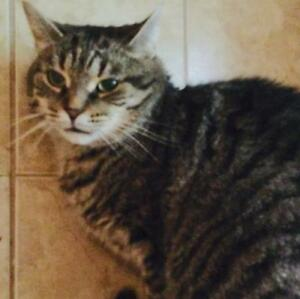 """Adult Male Cat - Domestic Short Hair: """"Oliver"""""""