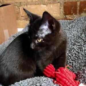 "Baby Female Cat - Domestic Medium Hair: ""Winter"""