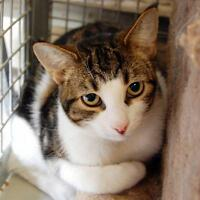 """Young Male Cat - Domestic Short Hair-Tabby: """"Buddy"""""""