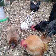 Serama Hatching Eggs