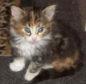 Absolutely gorgeous Kitten. Miller Liverpool Area Preview