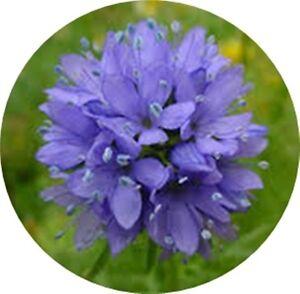 Blue-Thimble-Flower-Globe-Gilia-UNDER-RATED-100-seeds