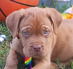 Male pedigree Dogue De Bordeaux puppy Ellalong Cessnock Area Preview