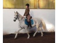 Connemara pony 14.2hh horse hack riding loan