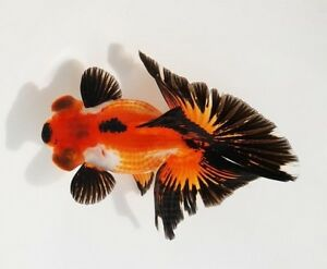 Ranchu Oranda Ryukin Wakin Aquarium Goldfish Fancy Goldfish