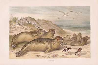 Seehund Seehunde Möwen Lithographie von 1890