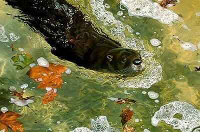 Carl Brenders ON A MISSION, River Otter, Earth Day Art Print A/P #12/76