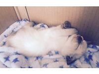 12 week siamese kitty
