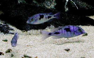 10 Blue Dolphin Cichlids Lake Malawi Fish