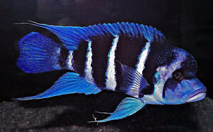 I WANT 1 OR MORE FRONTOSA CICHILDS