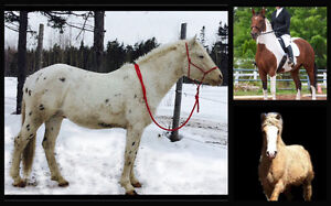Americain Curly foal for sale