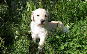 Yellow Labradoodle puppy,  One remaining available now.