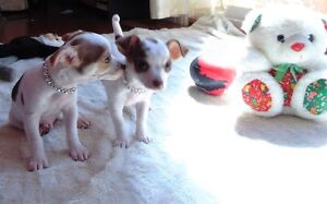 Chihuahua, Gorgeous spotted pups **Ready Now!