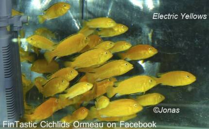 Electric Yellows.....+20 other types of African Cichlids Ormeau Gold Coast North Preview