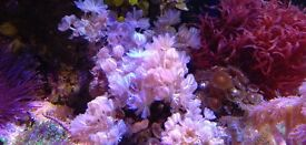 Marine aquarium coral pulsing xenia plus zoas on rock