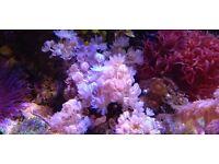 Marine aquarium coral pulsing xenia plus zoas on rock