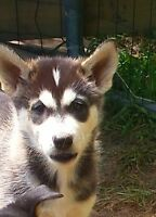 Beautiful ALASKAN HUSKY pups - great colours and loads of smarts
