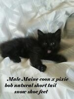 beautiful  PIXIE BOB HYBRID KITTENS  ~~READY TO GO