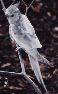 Young Male Whiteface Cockatiel