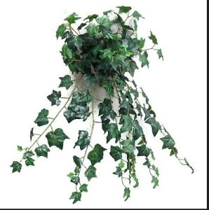 nice size english ivy plants. - great for house plants
