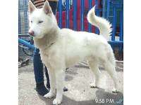 16 month old pure white husky with blue eye