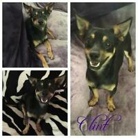 "Young Male Dog - Manchester Terrier: ""Clint"""