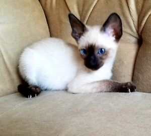 3 REGISTERED CLASSIC SIAMESE KITTENS - 1st & 2nd VACCINATIONS
