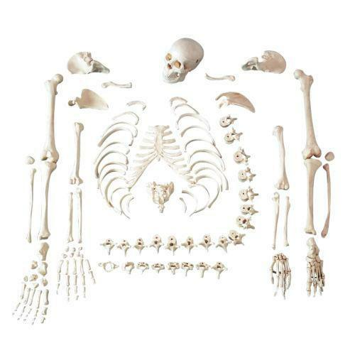 disarticulated skeleton | ebay, Skeleton