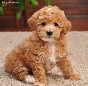 Poodle, Toy poodle, miniature poodle Razorback Wollondilly Area Preview
