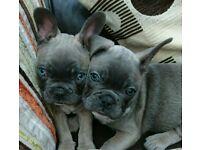 Stunning Frenchie puppies