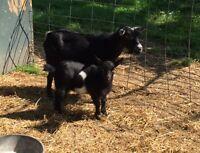 Miniature female goat; Pygmy X Nigerian dwarf