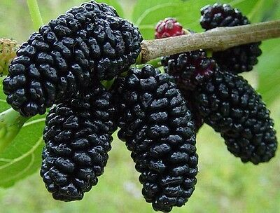 SWEET & TASTY BLACK MULBERRY 4-5' Tall Potted Plant Great Tasting Fruit Potted Fruit Plants