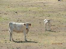charolais cow in calf and heffer for sale Pyalong Mitchell Area Preview