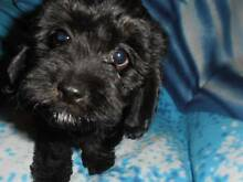 Cavoodle Puppies Newcastle Newcastle Area Preview