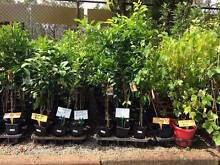 Lemon, Lime, Orange, Mandarin,Cumquat, Tangelo & Grape Fruit Wanneroo Wanneroo Area Preview