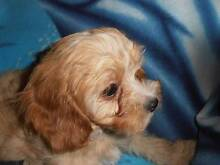 Cavoodle Puppies First Generation Newcastle Newcastle Area Preview