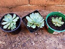 Succulent plants 3 for $ 5 Bankstown Bankstown Area Preview