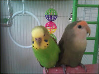 One Lovebird and one Budgie with cage and toys