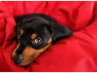 Black and Tan colour dachshund girl an boy
